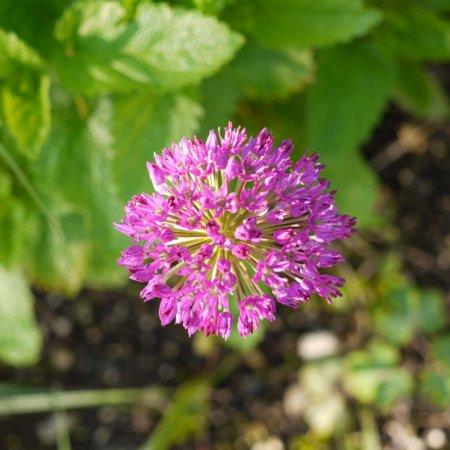 Allium - ZIerlauch