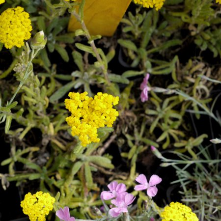 Besondere Pflanzen im Lavendelo