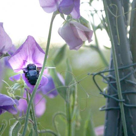 Wildbienen: Honigbiene