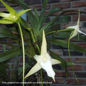 Der Stern von Madagaskar eine echte Blüte
