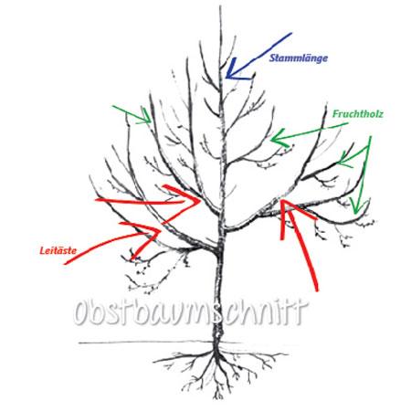Obstbaumschnitt am Beispiel Apfelbaum