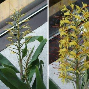 Links: Ingwer (Zingiber officinale); rechts: Zieringwer oder Schmetterlingsingwer (Hedychium gardnerianum)