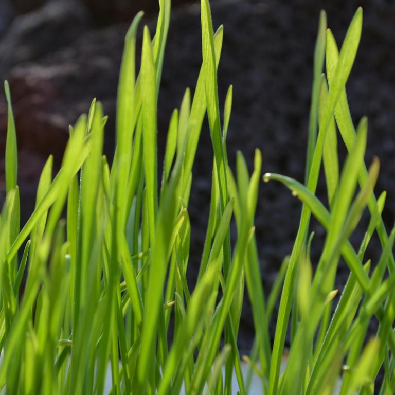 Weizengras ansäen und Weizengrassaft selber machen