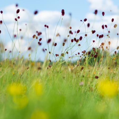 Großer Wiesenknopf Artenvielfalt