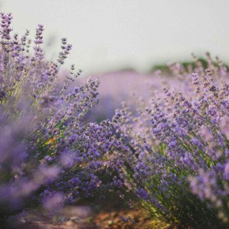 Lavendelblüten botanik